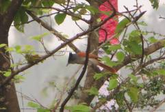 Asian Paradise Flycatcher, Vedanthangal