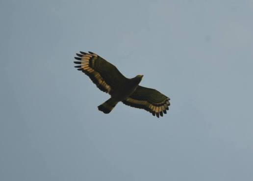 Crested Serpent Eagle, Thrissur
