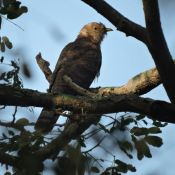 Brainfever Bird (or) Common Hawk Cuckoo