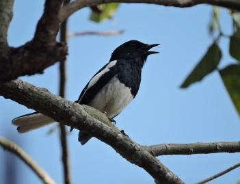 Oriental Magpie Robin, Vedanthangal