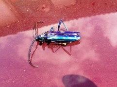 Jewel Bug, Kerala