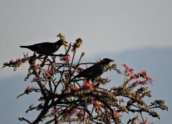 Eurasian Blackbirds, Valparai