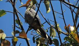 Malabar Grey Hornbill, Kumily