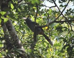 Malabar Grey Hormbill