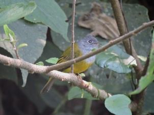 Grey-Headed Canary Flycatcher, Aadukam