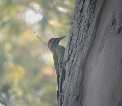 Streak-Throated Woodpecker