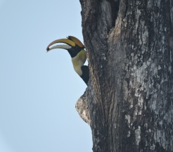 Great Hornbill, Valparai
