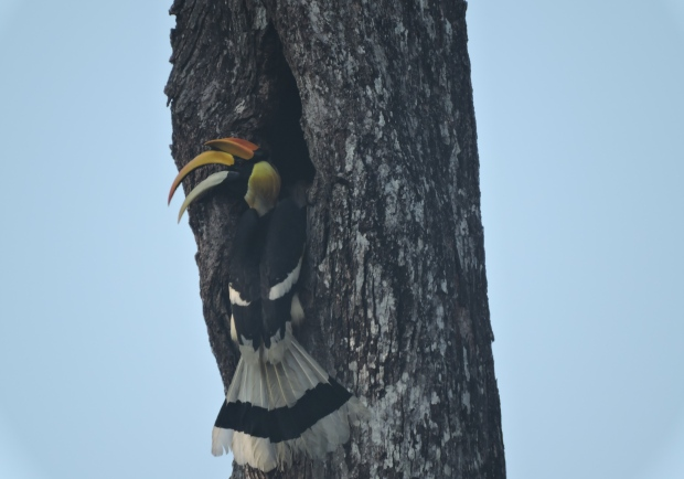 Great Hornbill, Valparai