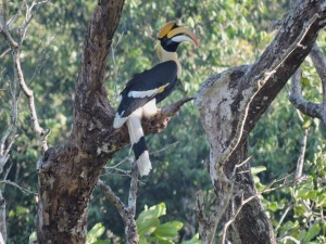 Great Indian Hornbill, , Valparai