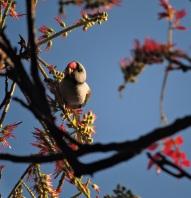 Blue-Winged Parakeet, Valparai