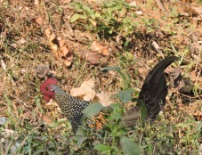 Grey Junglefowl (male), Kodaikanal