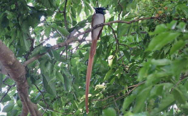 Asian Paradise Flycatcher - Male, Kumily