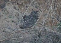 Indian Eagle Owl, Kumily