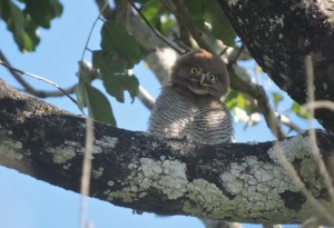 Jungle Owlet