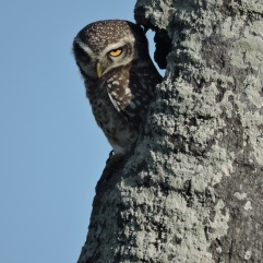 Spotted Owlet, Kumily