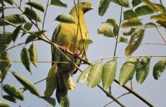 Pompadour Green Pigeon. Kumily