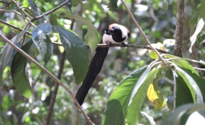 White-Bellied Treepie, Thekkady