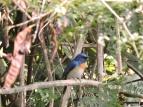 Tickell's Blue Flycatcher, Kumily