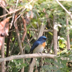 Tickell's Blue Flycatcher, Kumily