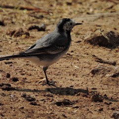 White Wagtail, Kumily