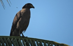 Serpent Crested Eagle, Kumily