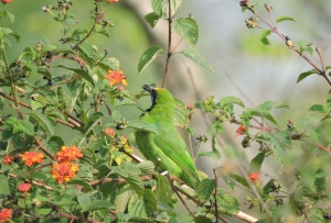 Golden Fronted Leafbird