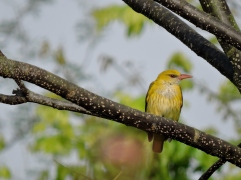 Common Iora