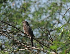 Banded Bay Cuckoo, Kumily