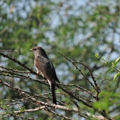 Banded Bay Cuckoo, Kumily