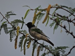 Black-Headed Cuckooshrike, Kumily
