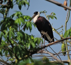 Wooly-Necked Stork, Thekkady