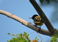 Black-Hooded Oriole, Kumily