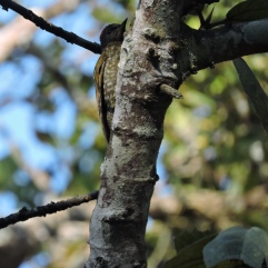 Streak-Throated Woodpecker, Thekkady