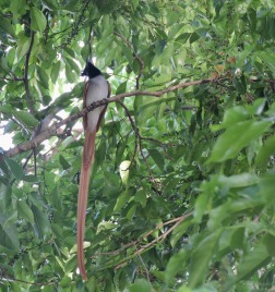 Asian Paradise Flycatcher - Male, Kumily