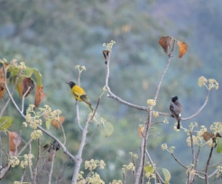 Black-Hooded Oriole and Red-Whiskered Bulbul