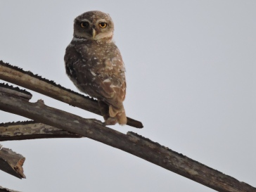 Spotted Owlet, Pulicat Road