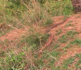 Rat Snake, Kanchipuram