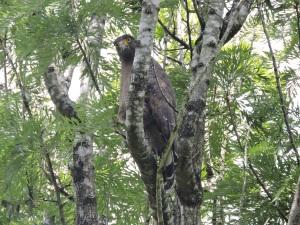 Serpent Crested Eagle, Munnar