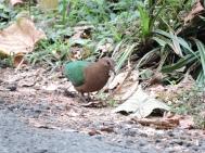 Emerald Dove, Vattakanal