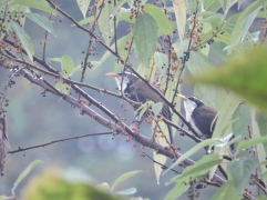 Indian Scimitar Babblers