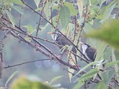 Indian Scimitar Babblers