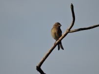 Rose Finch - female