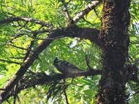 Black-Lored Tit, Kodaikanal