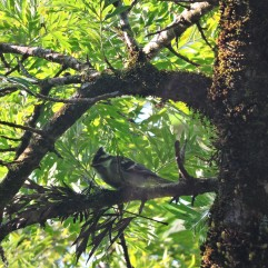 Black-Lored Tit, Kodaikanal