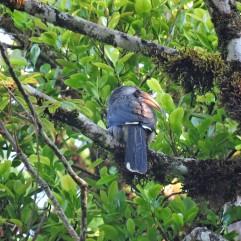 Malabar Grey Hornbill, Munnar