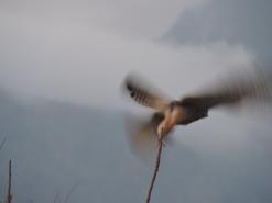 Eurasian Kestrel