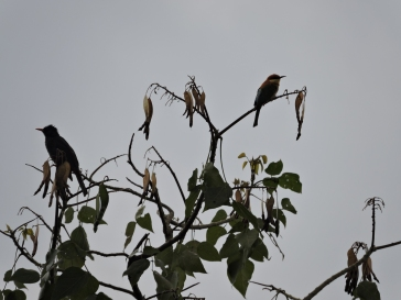 Black Bulbul / Chestnut-Headed Bee Eater