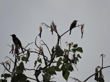 Black Bulbul / Chestnut-Headed Bee Eater