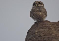 Spotted Owl, East Coast Road