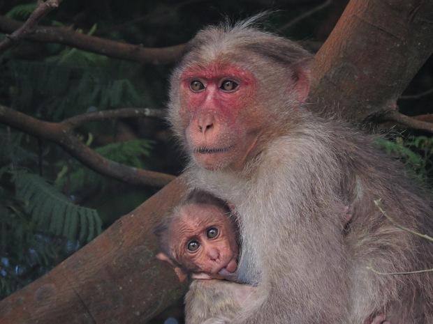 Bonnet Macaques, Kodaikanal